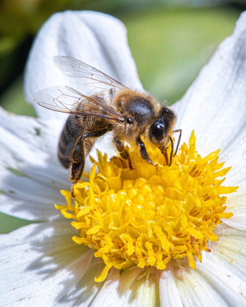 Bienen Honigmacher