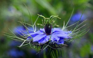 Schwarzkümmel Blume