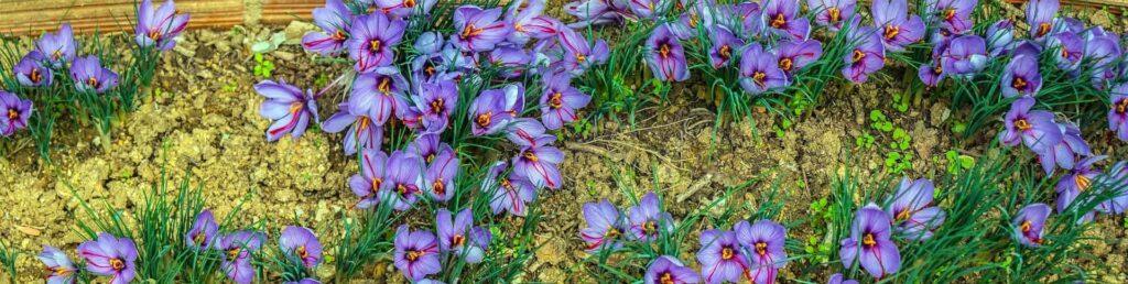 Safran Wirkung Blüten
