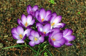 Safran-Blumen
