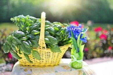 Königskraut Basilikum – Die Heilpflanze und ihre Wirkung